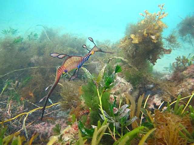 A weedy seadragon at Flinder's Jetty.