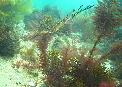 Weedy seadragon blending in with the algae at Flinder's Jetty.