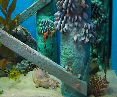 Close-up of the seadragon exhibit at the Melbourne Aquarium.