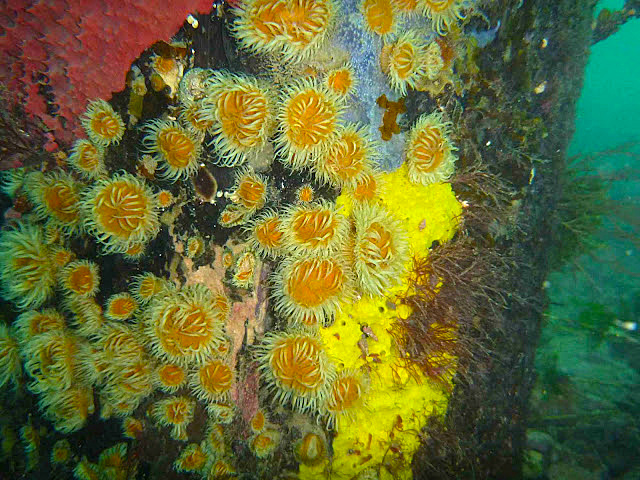 Anemones on Flinder's Jetty piling (photo by Greg Rouse).