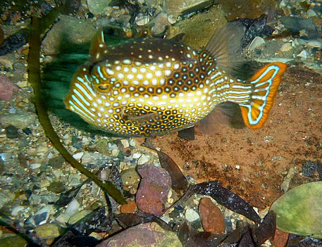 Ornate Cowfish (Aracana ornata) at Flinder's Jetty (photo by Greg Rouse).