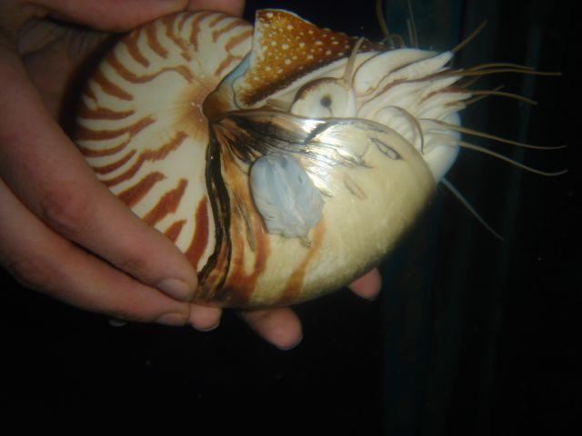 Nautilus Egg case