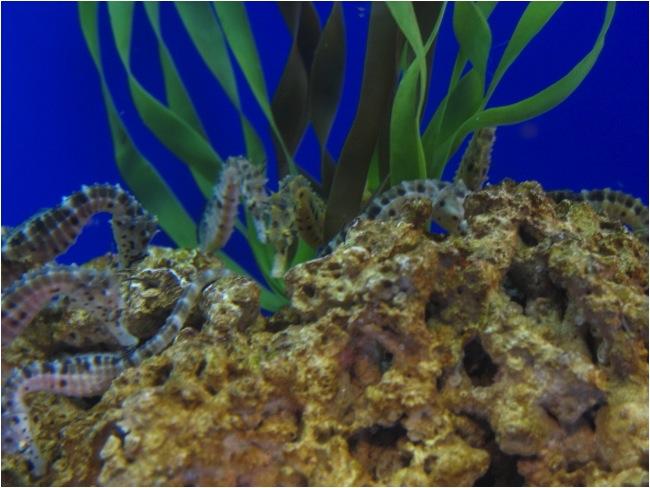 Birch Aquarium seahorse