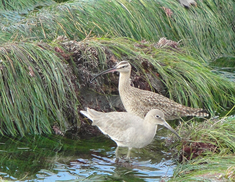 A Willet (front) and Whimbrel (behind)