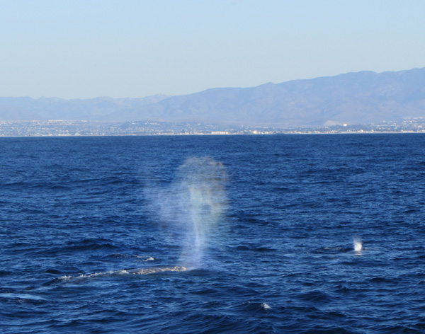 A gray whale's iconic heart-shaped blow.