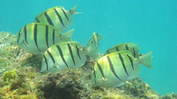 Convict Surgeonfish grazing at Nanbay Reef in Taiwan.