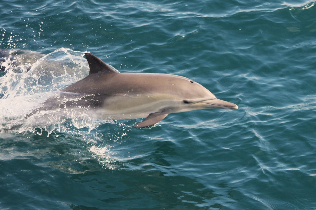 Common dolphin spotted during last season's Whale Watching Expeditions