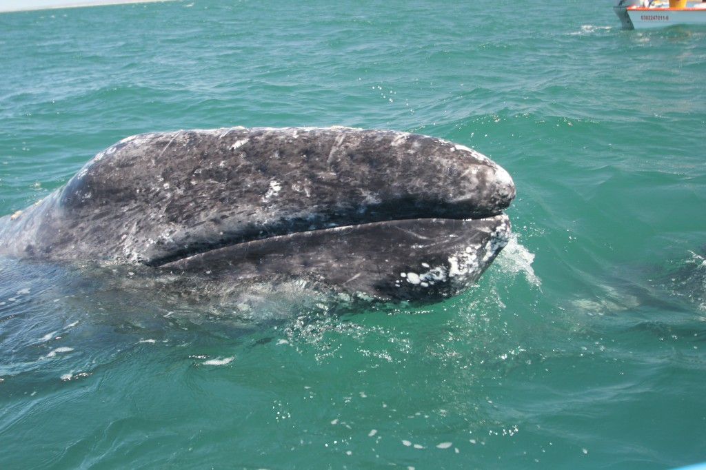 gray whale rostrum