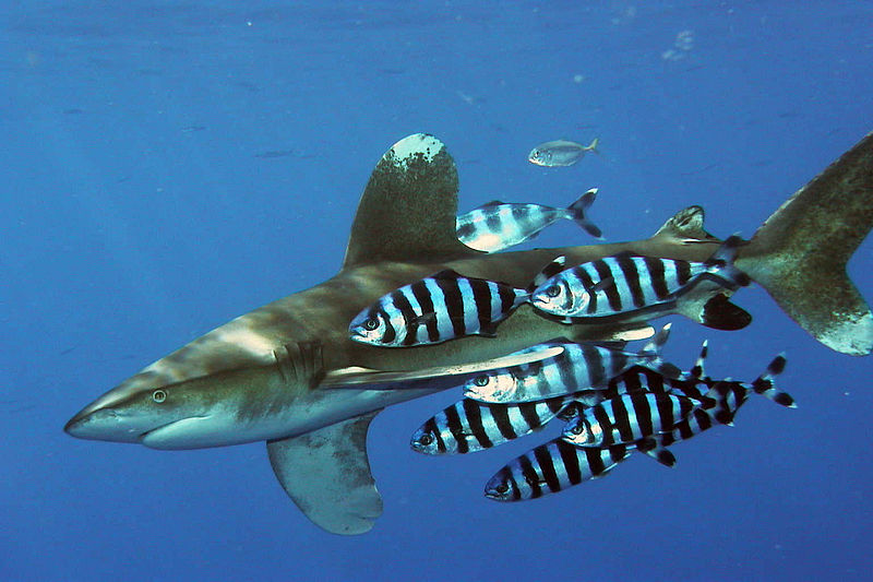 Oceanic whitetip photographed at the Elphinstone reef, Red Sea, Egypt, accompanied by pilot fish