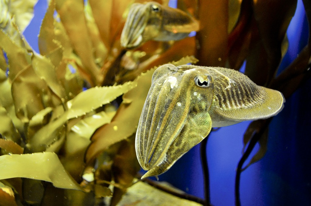 Cuttlefish at Birch Aquarium at Scripps