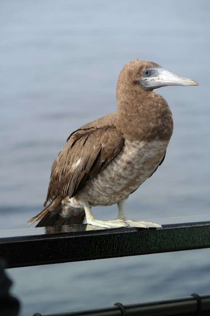 Juvenile Brown Footed Booby