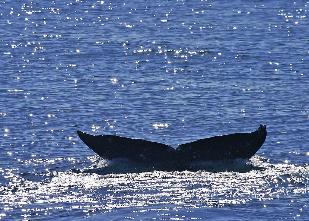 Gray whale tail off San Diego.