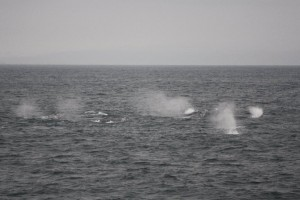 It's often hard to tell how many whales you are looking at! How many do you think are in this picture? Credit: Caitlin Scully