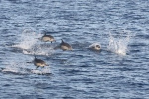 Common Dolphins are fast moving and energetic! Credit: Caitlin Scully