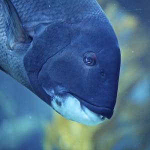 Our male California Sheephead can be seen in the Kelp Tank