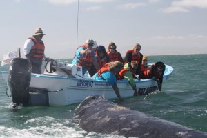 Guests get up close and personal with a mother gray whale and her calf in the carefully regulated lagoons in Baja California, MEX
