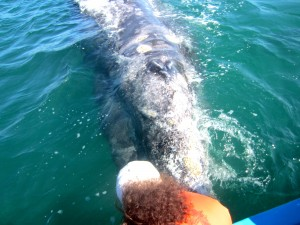 A curious adult female gray whale interacts with guests. Credit: Lisa Gilfillan