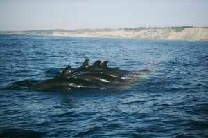 False Killer Whales off of Scripps Institution of Oceanography. Photo taken by  Michelle Robbins of NOAA