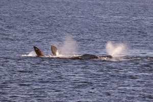 Gray Whales off the coast of San Diego