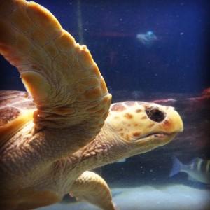 Loggerhead Sea Turtle at Birch Aquarium.