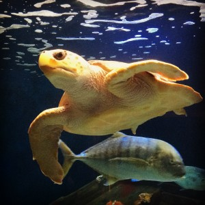 Loggerhead Sea Turtles can be found in tropical and temporate waters around the world. Here at Birch Aquarium, you can find the turtle in the Magdalena Bay Tank, next to the Kelp Tank.