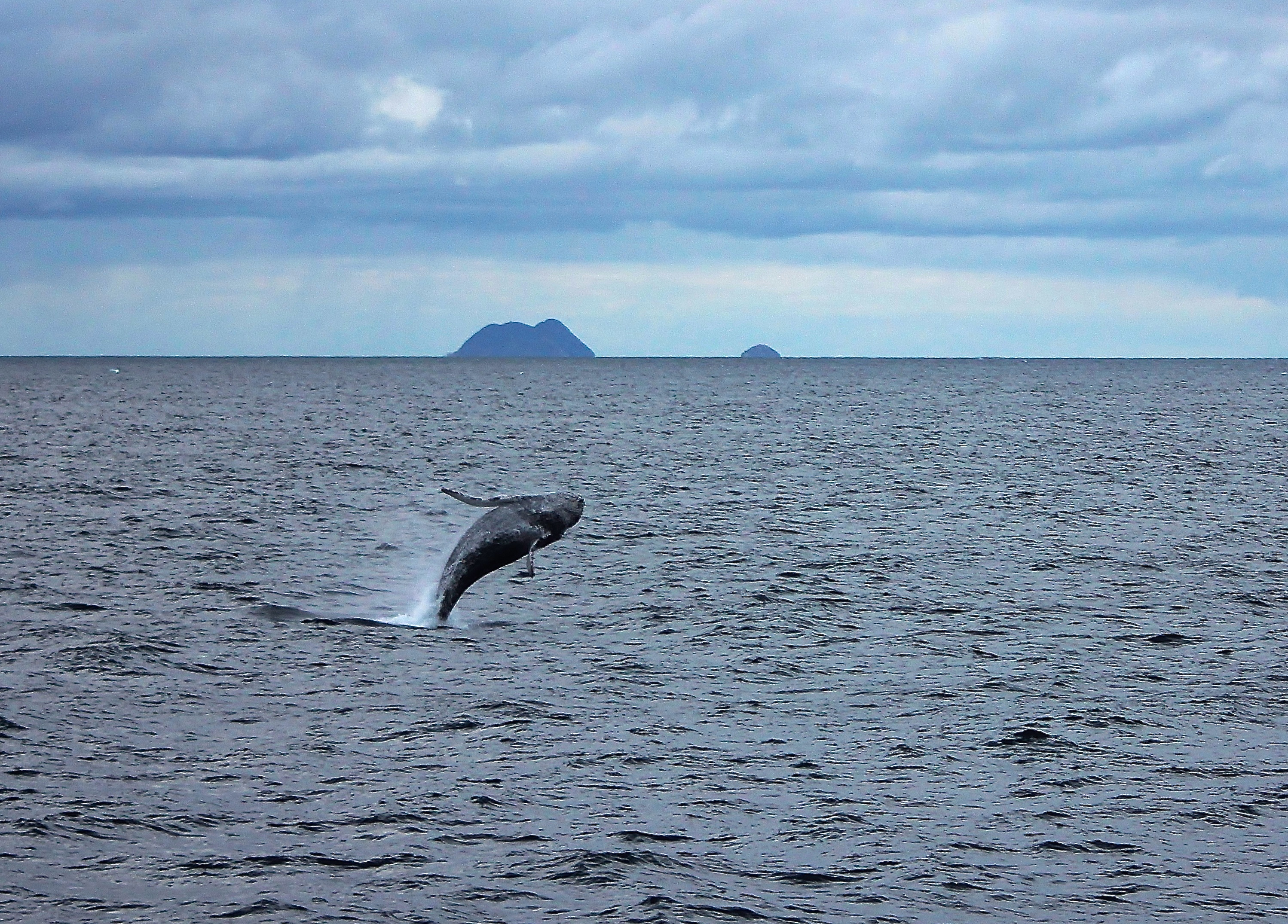 A humpback whale breaches in front of the Coronado Islands on the first day of the 2015/2016 whale watching season.
