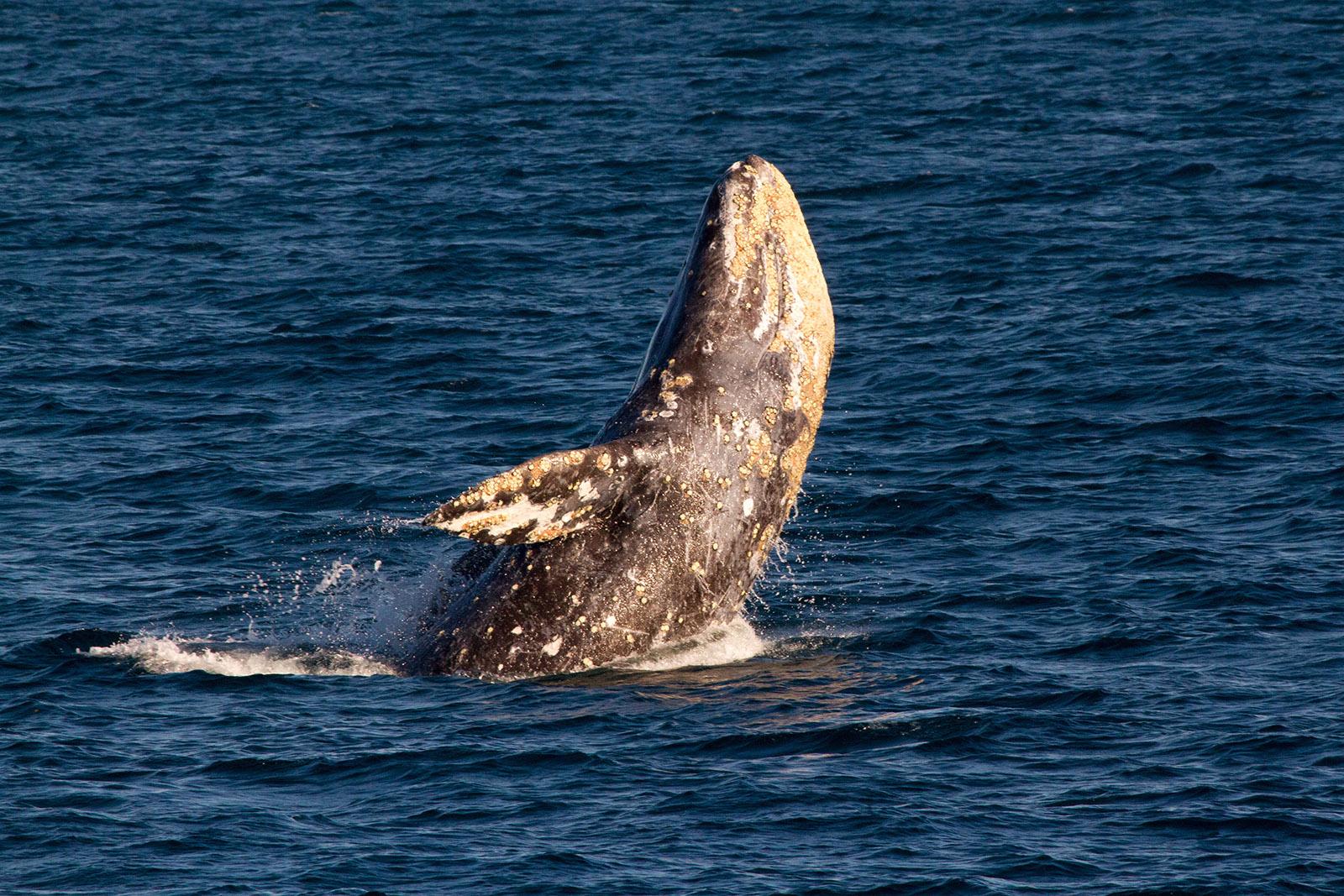 A Gray Whale breaches off the San Diego Coast. Photo Credit Bob Bolsinger.