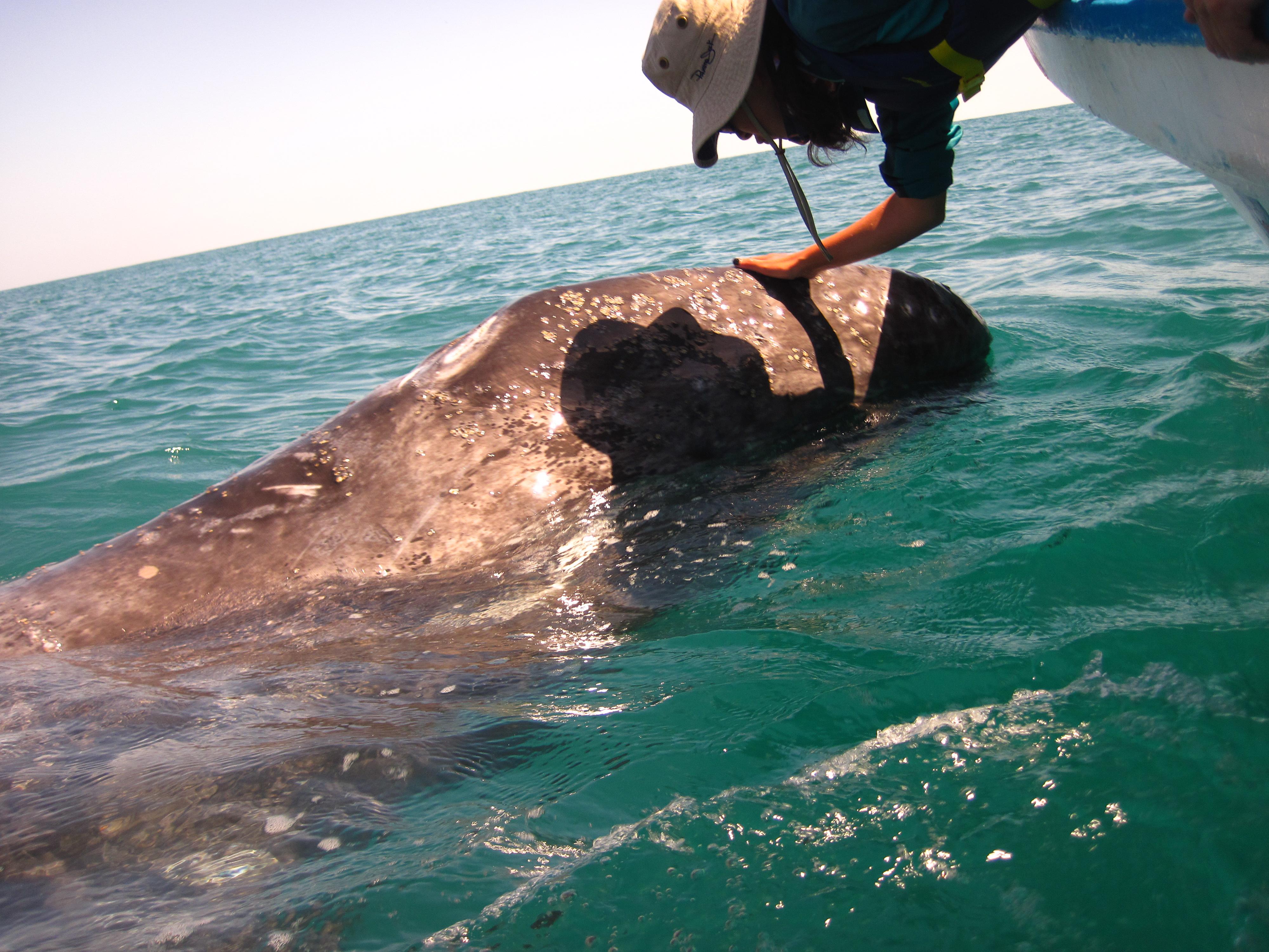 Gray Whale calves dwarf whale watchers.