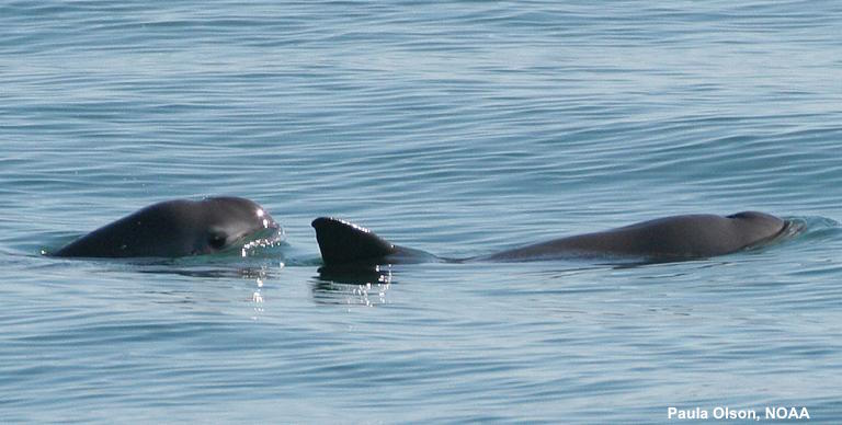 Vaquita are small porpoises that only live in the Gulf of California. With less than 60 left, they are considered to be critically endangered