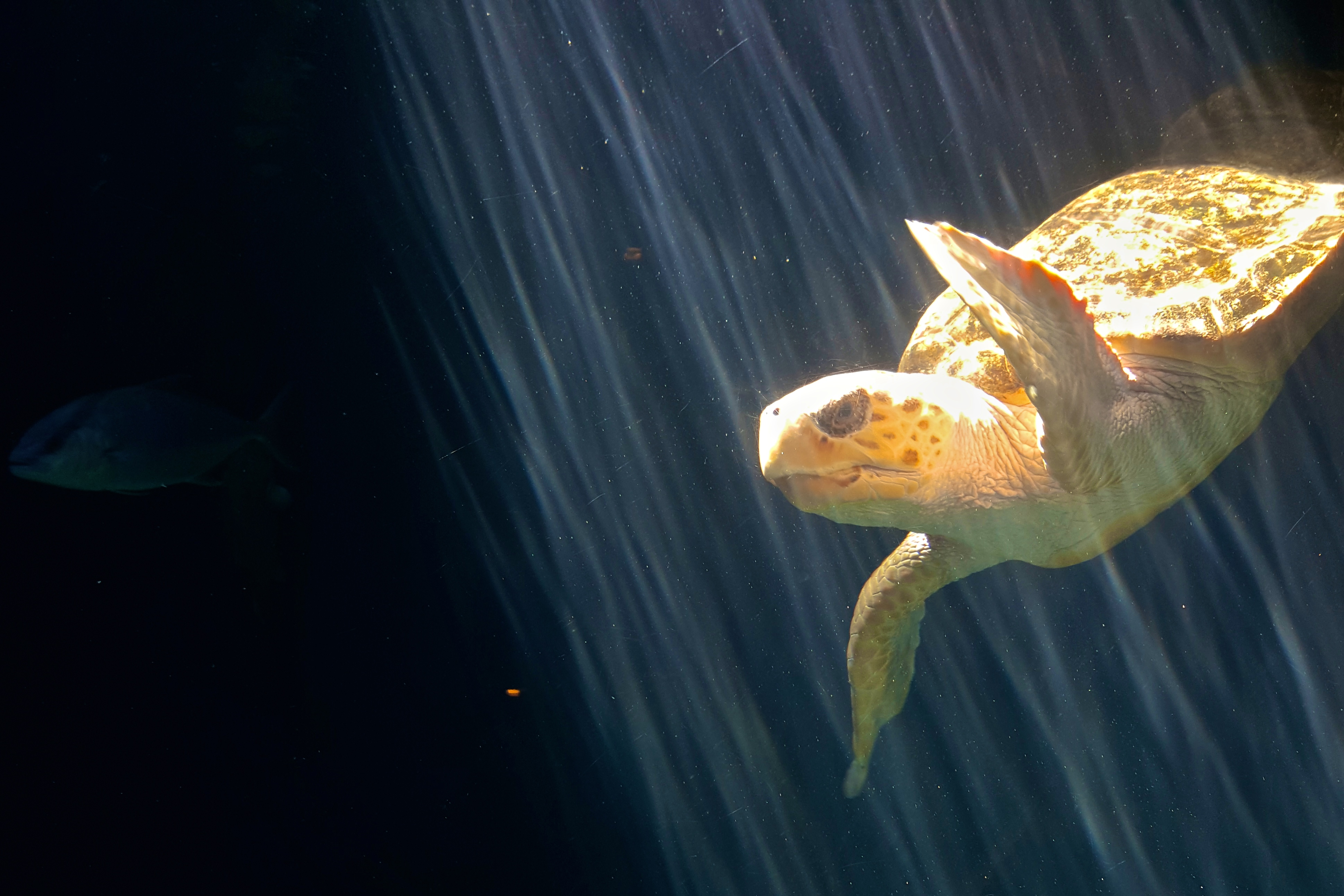 Our female Loggerhead Sea Turtle was deemed non-releaseable and so we provide a home to this charismatic endangered species. All seven types of sea turtle are endangered.