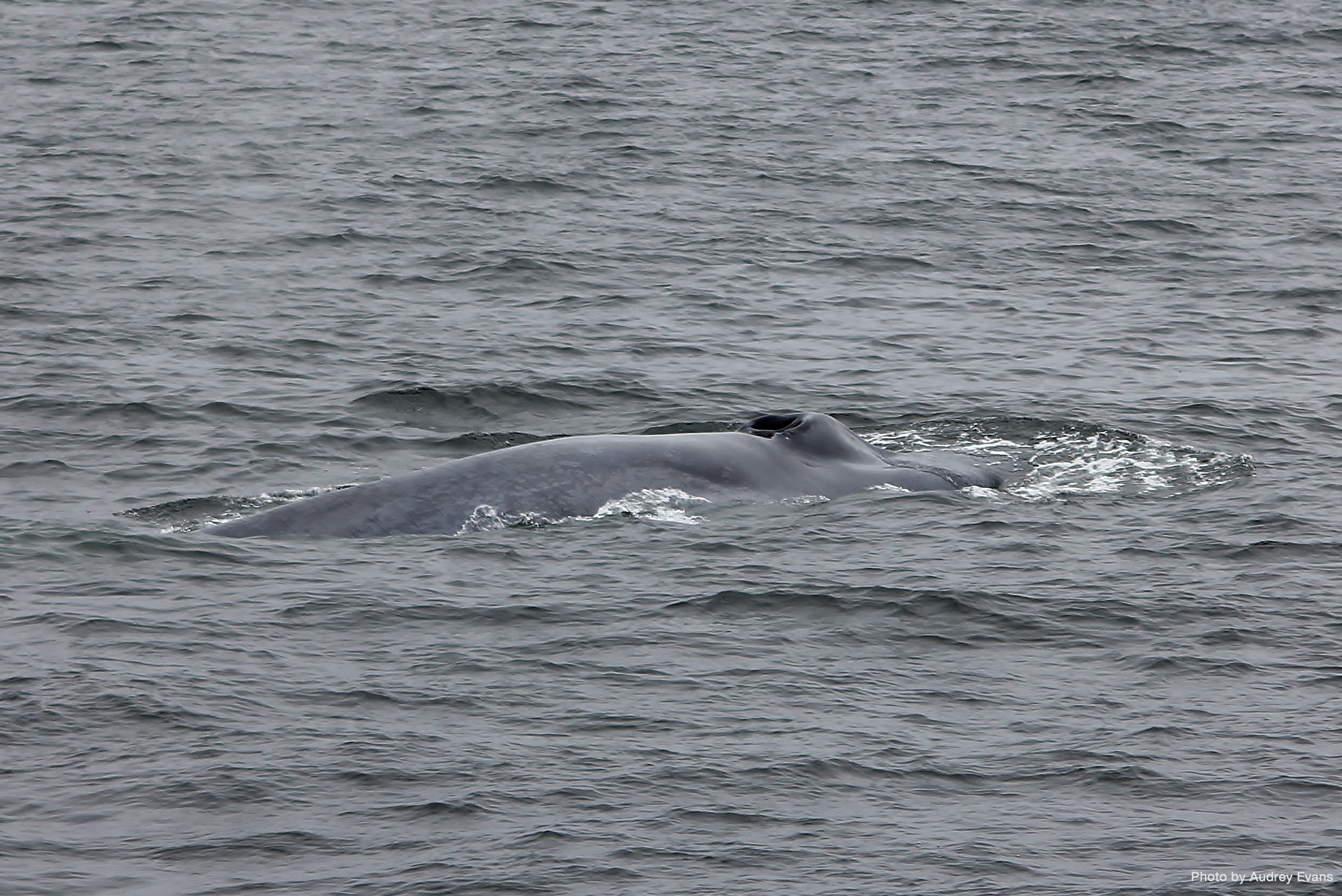 Blue whales found locally around the San Diego coast can reach up to 90 feet in length. Photo by Audrey Evans.