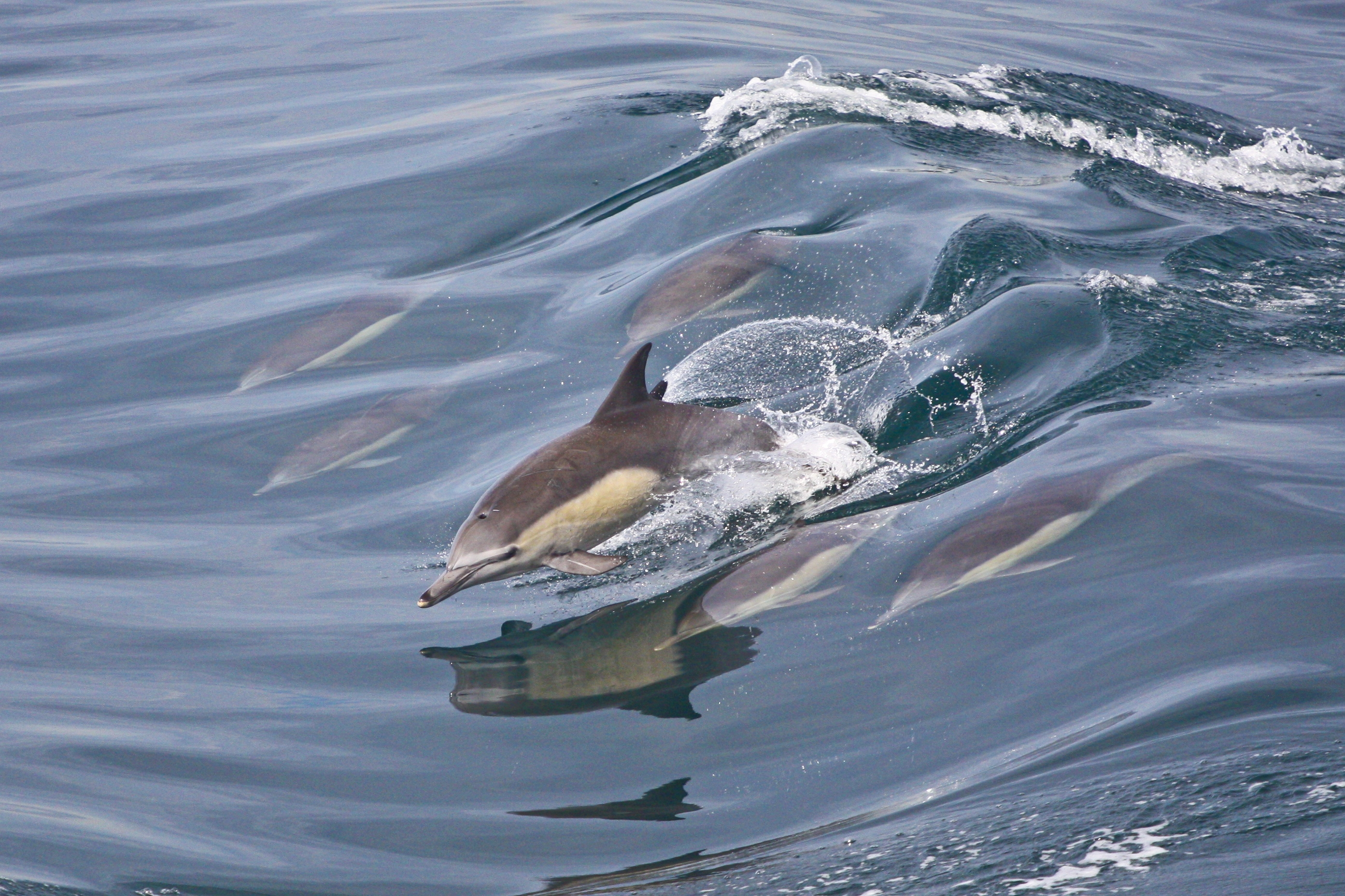 Dolphins leap in and out of the water, allowing them to swim with greater efficiency.