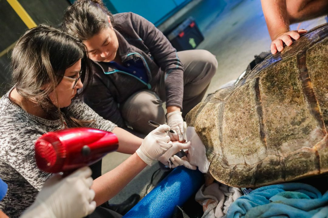 Brace yourself 3 d technology helps sea turtle thrive the final brace is attached to the loggerhead sea turtles shell using marine grade turtle safe epoxy the brace replaces a missing piece of shell and will solutioingenieria Images