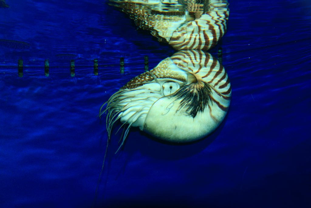 Chambered Nautilus reflected in water surface.