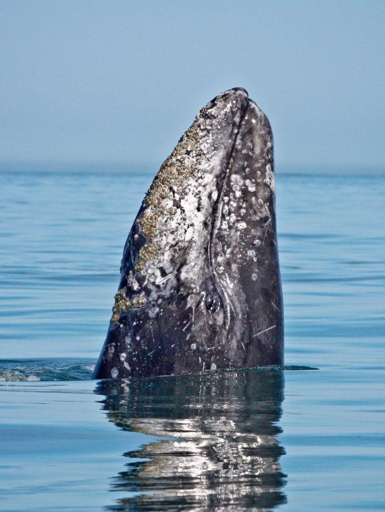 Gray Whale, Birch Aquarium, Flagship Cruises