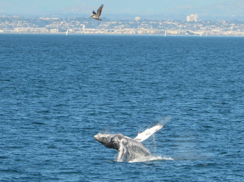 Humpback Whale, Flagship Cruises, Birch Aquarium