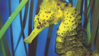 Ocean Life Seahorse Conservation